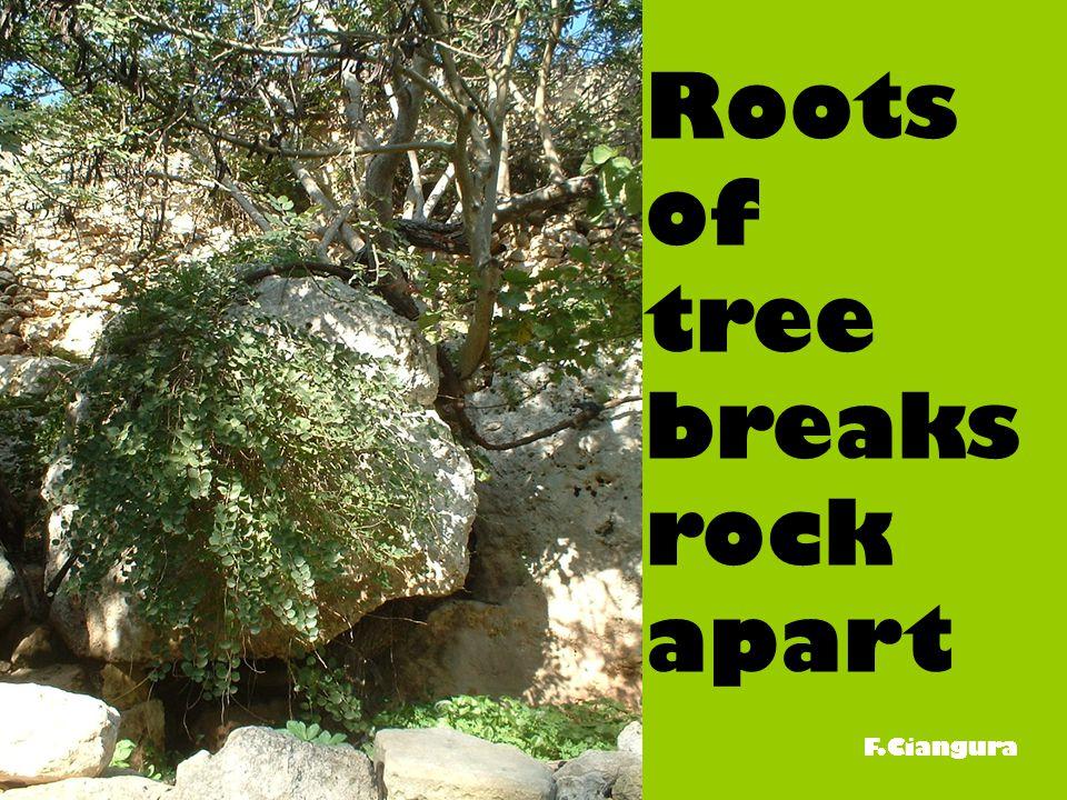 Roots of tree breaks rock apart F.Ciangura