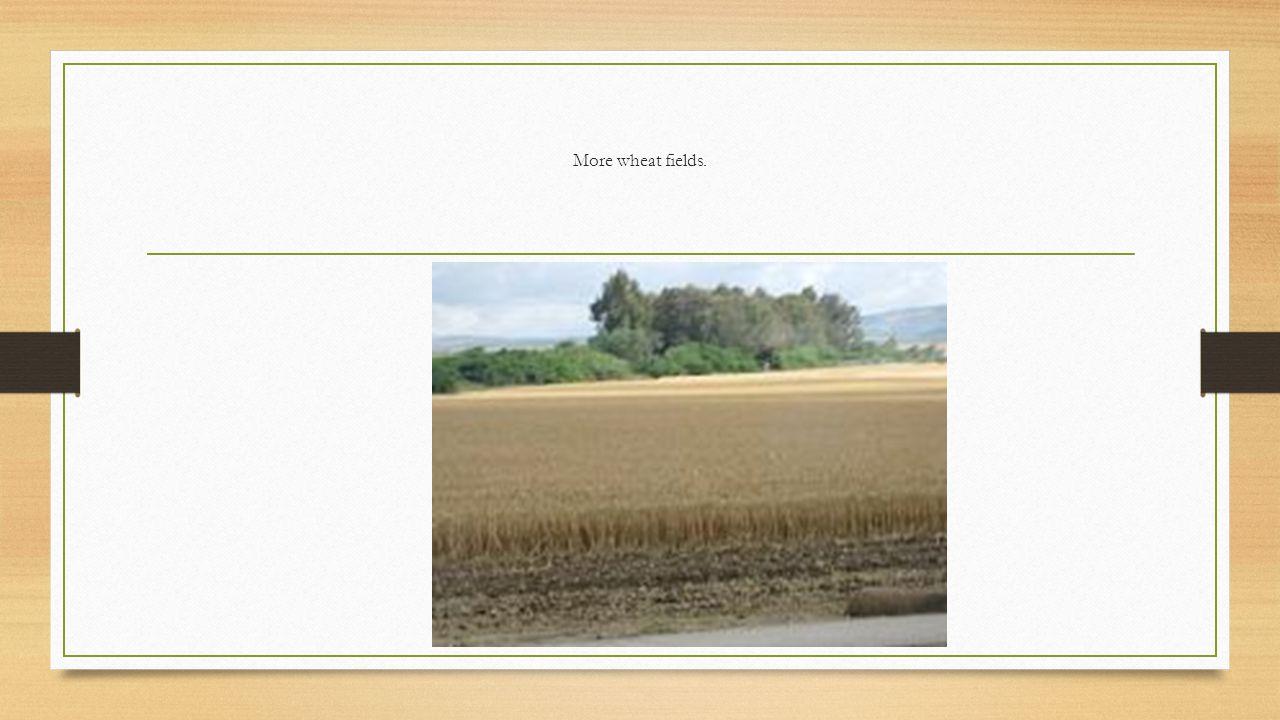 More wheat fields.