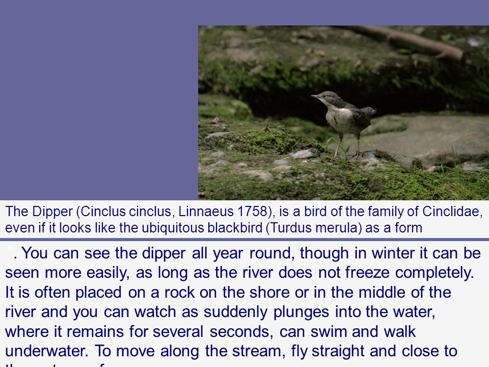 The Dipper (Cinclus cinclus, Linnaeus 1758), is a bird of the family of Cinclidae, even if it looks like the ubiquitous blackbird (Turdus merula) as a