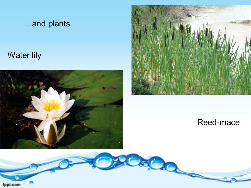 … and plants. Water lily Reed-mace
