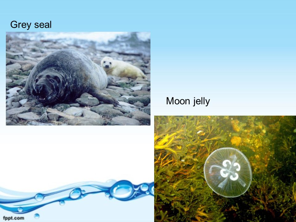 Grey seal Moon jelly