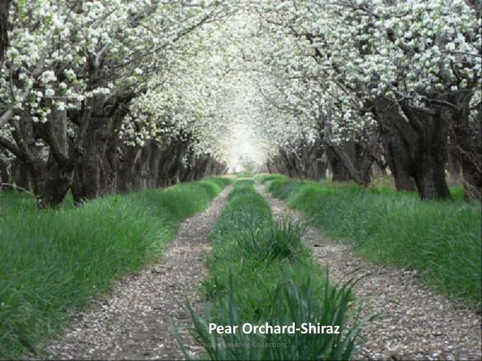 Pear Orchard-Shiraz Iranian Amazing Collection