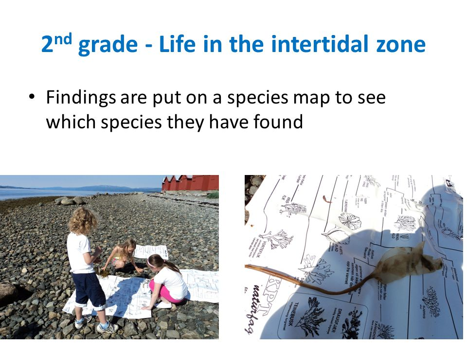 2 nd grade - Life in the intertidal zone Findings are put on a species map to see which species they have found