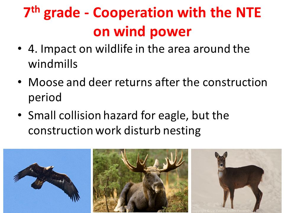 7 th grade - Cooperation with the NTE on wind power 4. Impact on wildlife in the area around the windmills Moose and deer returns after the constructi