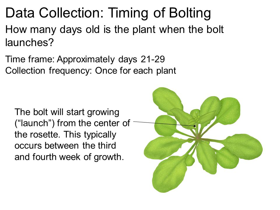 Data Collection: Timing of Bolting How many days old is the plant when the bolt launches.