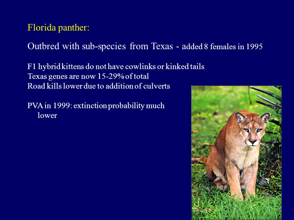 Florida panther: Outbred with sub-species from Texas - a dded 8 females in 1995 F1 hybrid kittens do not have cowlinks or kinked tails Texas genes are
