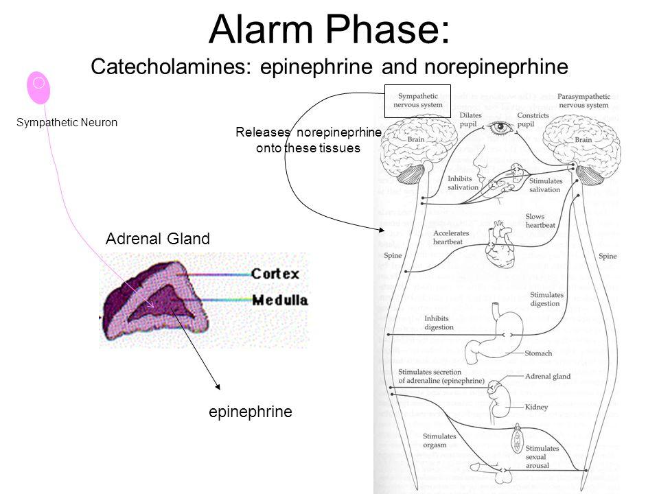 Alarm Phase: Catecholamines: epinephrine and norepineprhine Adrenal Gland Sympathetic Neuron epinephrine Releases norepineprhine onto these tissues