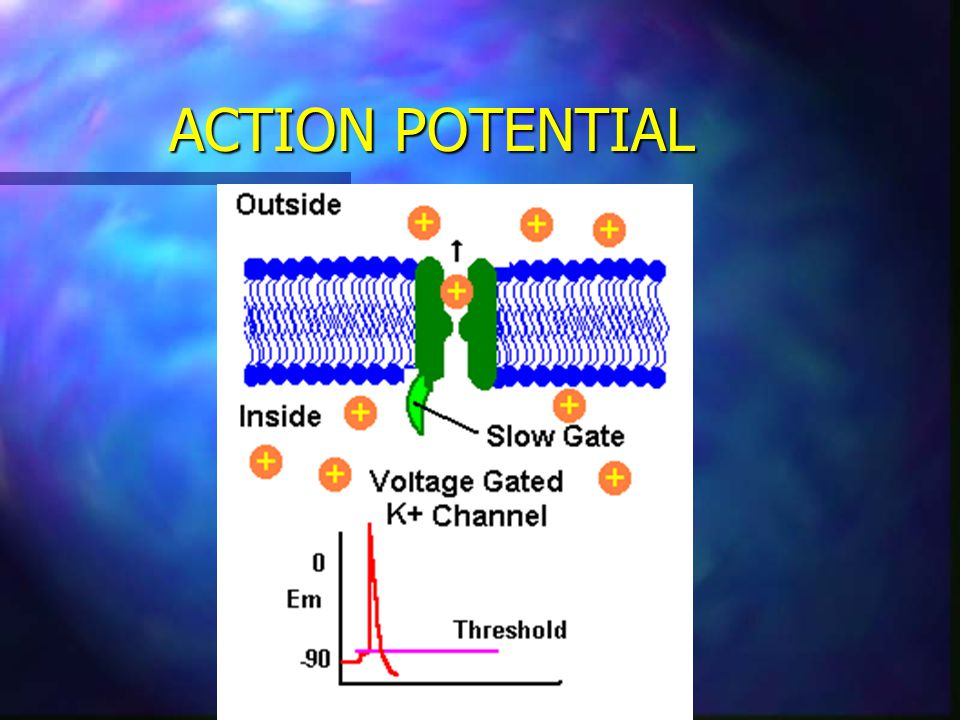 Action Potential Generation Properties n Absolute Refractory n During this period the voltage gated channels responsible for the action potential have not reset and therefore, do not respond to stimulation.