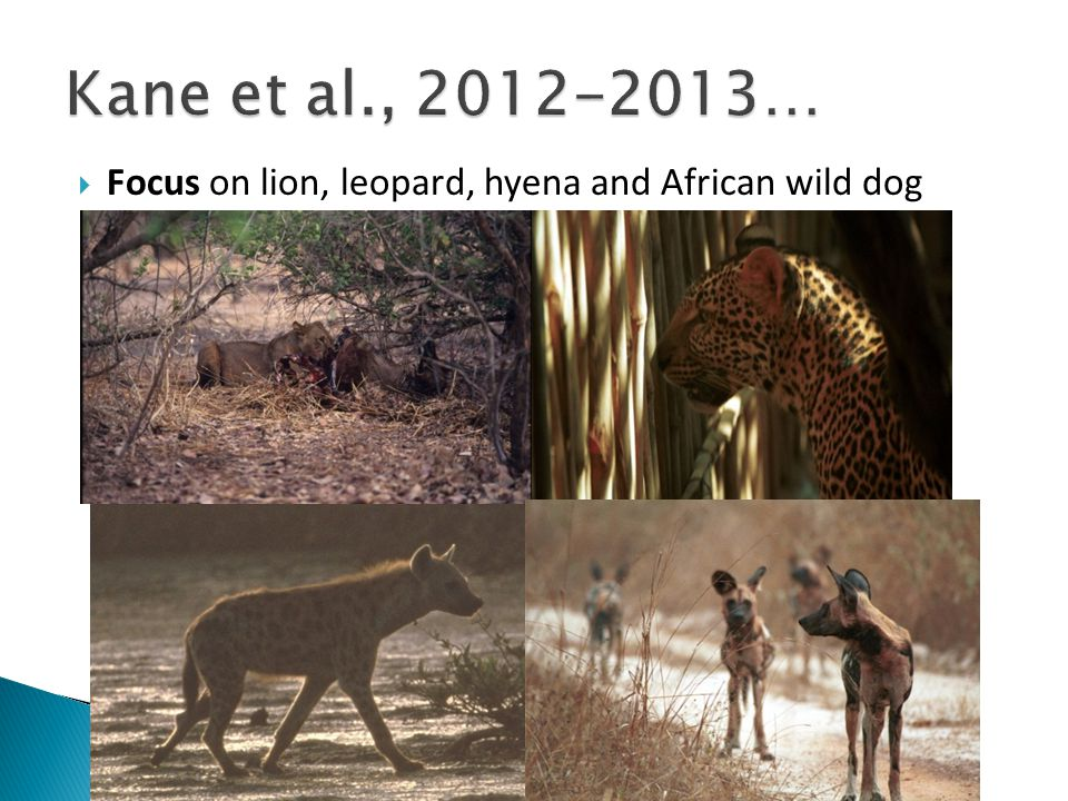  Focus on lion, leopard, hyena and African wild dog
