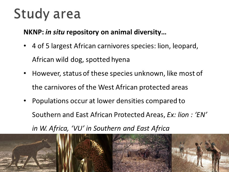 NKNP: in situ repository on animal diversity… 4 of 5 largest African carnivores species: lion, leopard, African wild dog, spotted hyena However, status of these species unknown, like most of the carnivores of the West African protected areas Populations occur at lower densities compared to Southern and East African Protected Areas, Ex: lion : 'EN' in W.