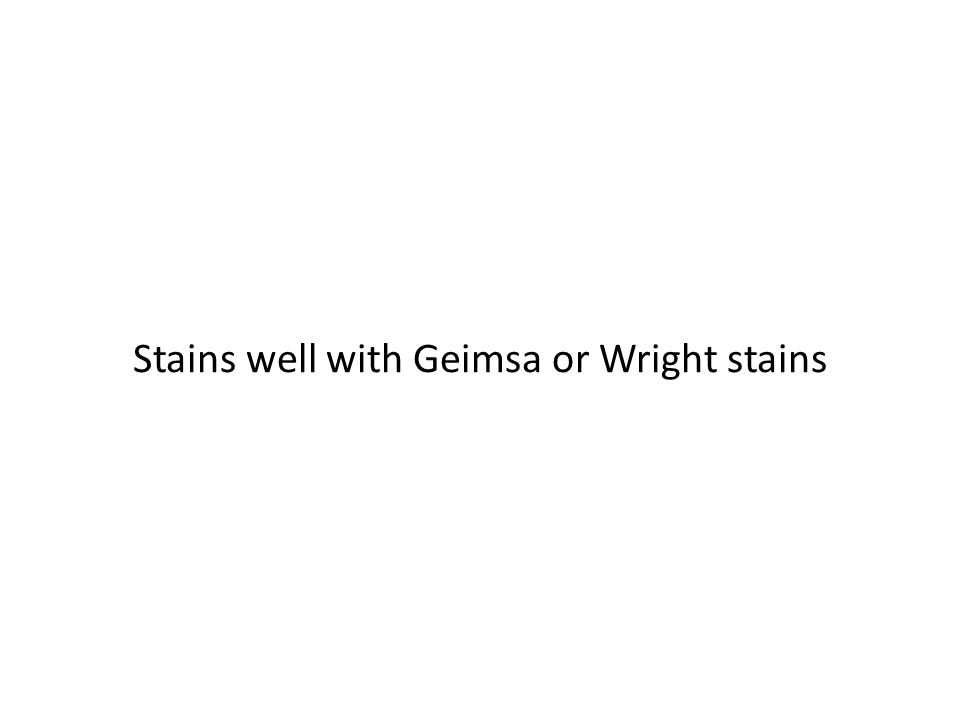 Stains well with Geimsa or Wright stains