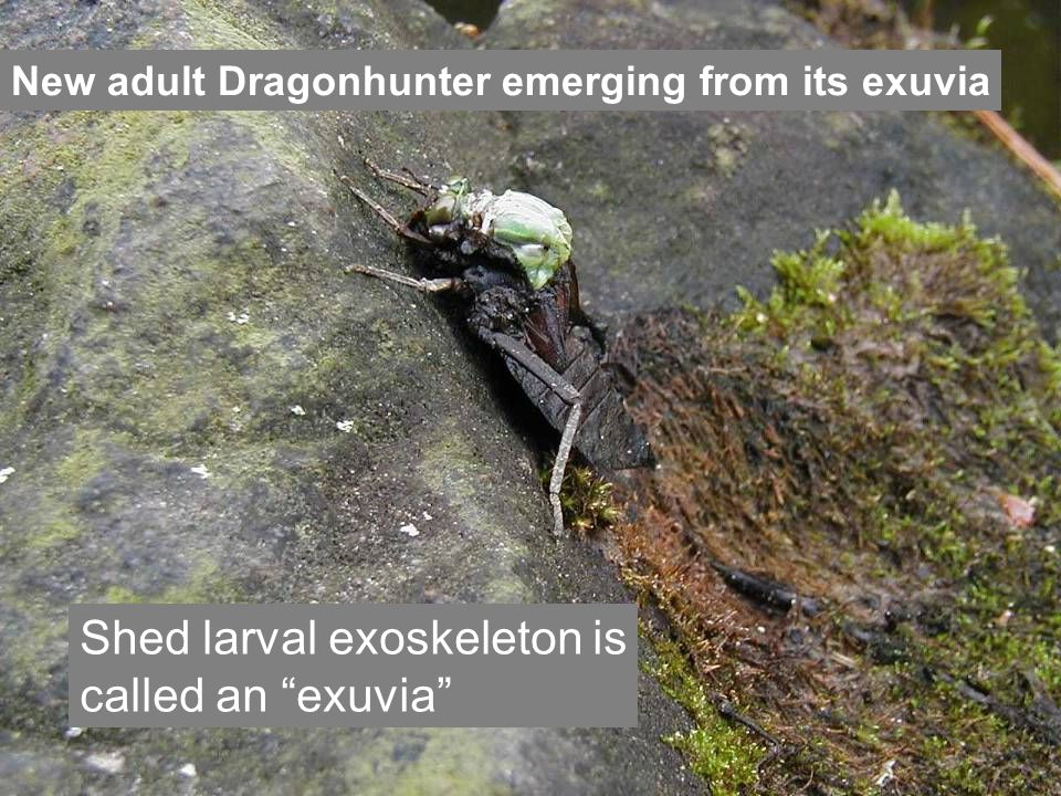 New adult Dragonhunter emerging from its exuvia Shed larval exoskeleton is called an exuvia
