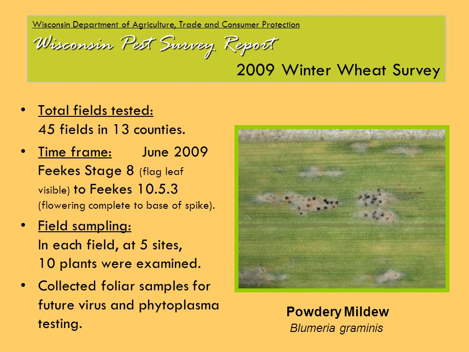Wisconsin Department of Agriculture, Trade and Consumer Protection Wisconsin Pest Survey Report 2009 Winter Wheat Survey Total fields tested: 45 fields in 13 counties.