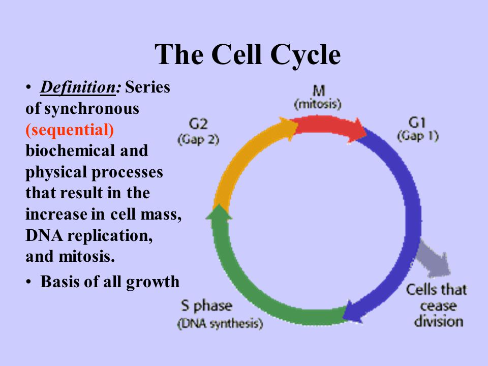 The Cell Cycle Definition: Series of synchronous (sequential) biochemical and physical processes that result in the increase in cell mass, DNA replication, and mitosis.