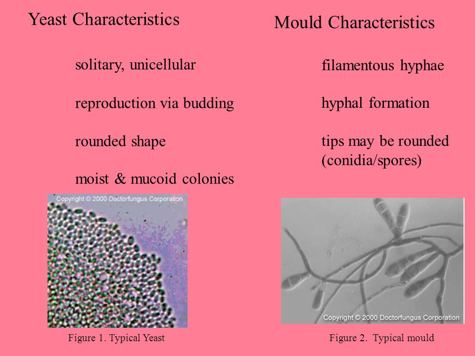 Figure 1. Typical YeastFigure 2. Typical mould Yeast Characteristics solitary, unicellular reproduction via budding rounded shape moist & mucoid colon