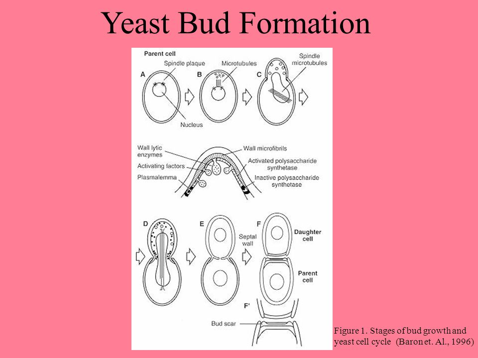 Yeast Bud Formation Figure 1. Stages of bud growth and yeast cell cycle (Baron et. Al., 1996)