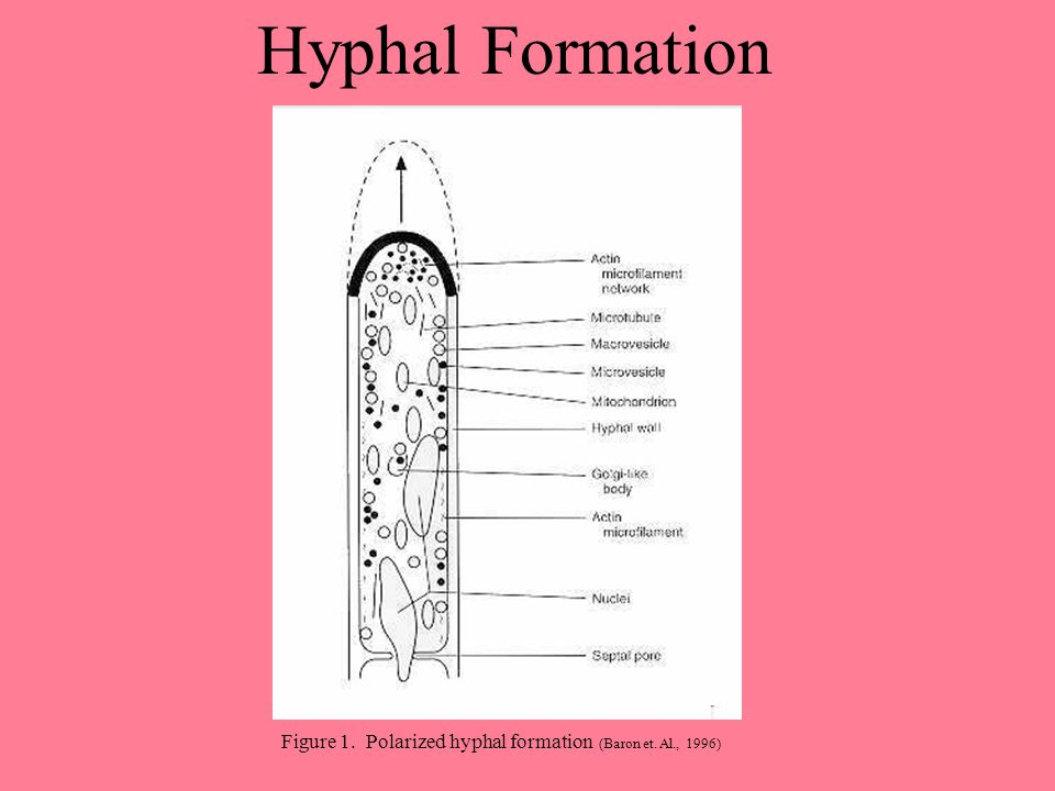 Hyphal Formation Figure 1. Polarized hyphal formation (Baron et. Al., 1996)