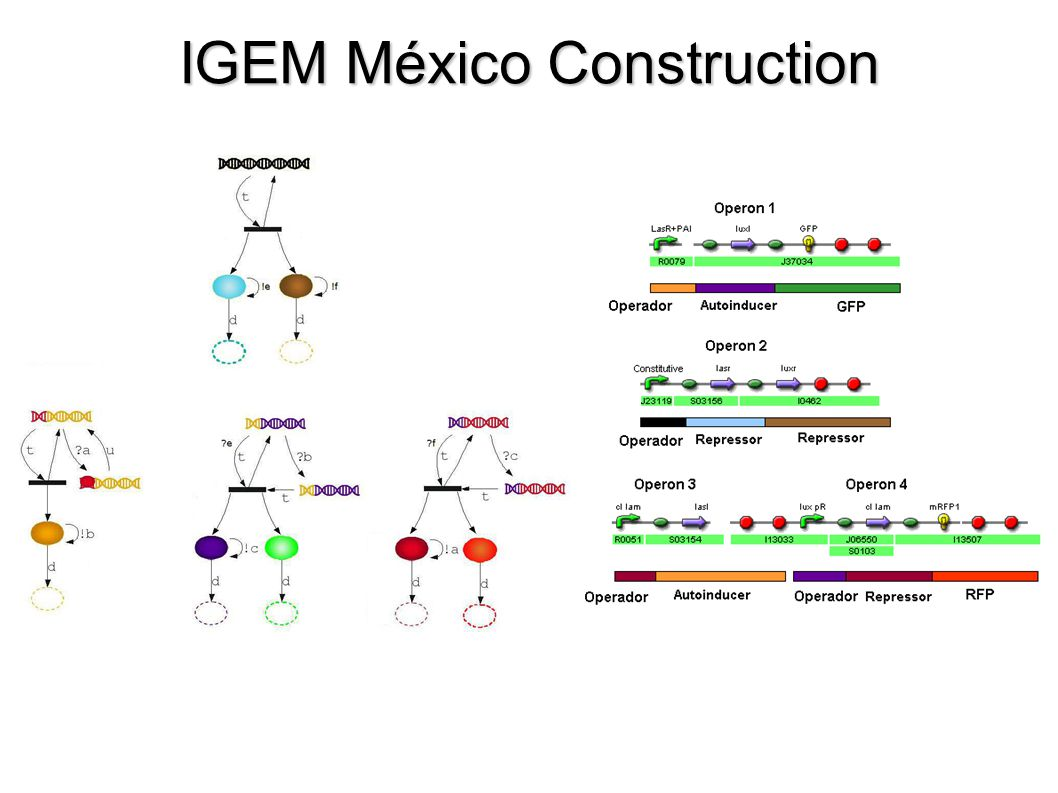 IGEM México Construction