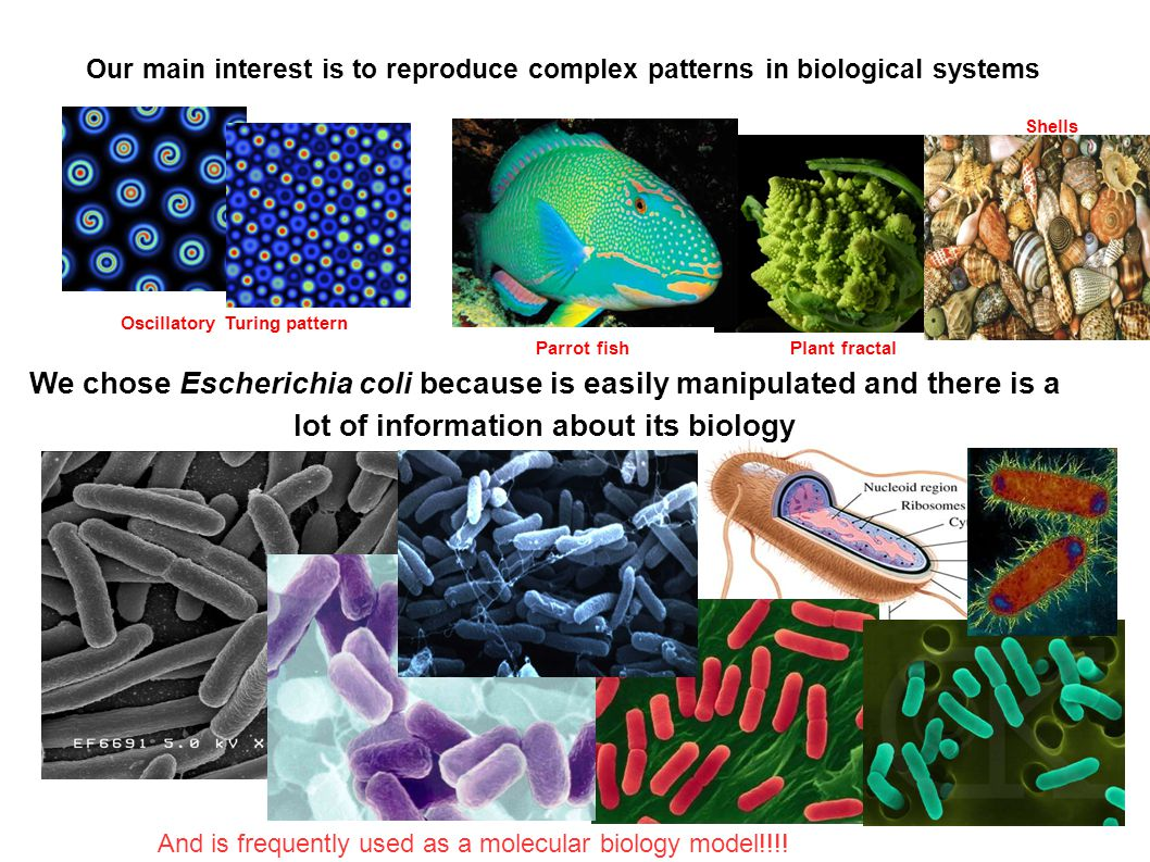 Our main interest is to reproduce complex patterns in biological systems We chose Escherichia coli because is easily manipulated and there is a lot of information about its biology And is frequently used as a molecular biology model!!!.