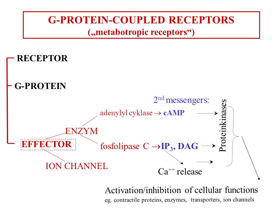 "ENZYM adenylyl cyklase  cAMP fosfolipase C  IP 3, DAG Proteinkinases G-PROTEIN-COUPLED RECEPTORS (""metabotropic receptors ) G-PROTEIN RECEPTOR Ca ++ release 2 nd messengers: Activation/inhibition of cellular functions eg."