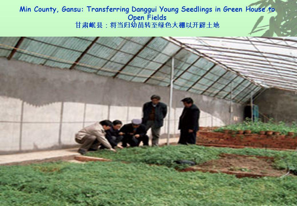 Min County, Gansu: Transferring Danggui Young Seedlings in Green House to Open Fields 甘肃岷县:将当归幼苗转至绿色大棚以开辟土地