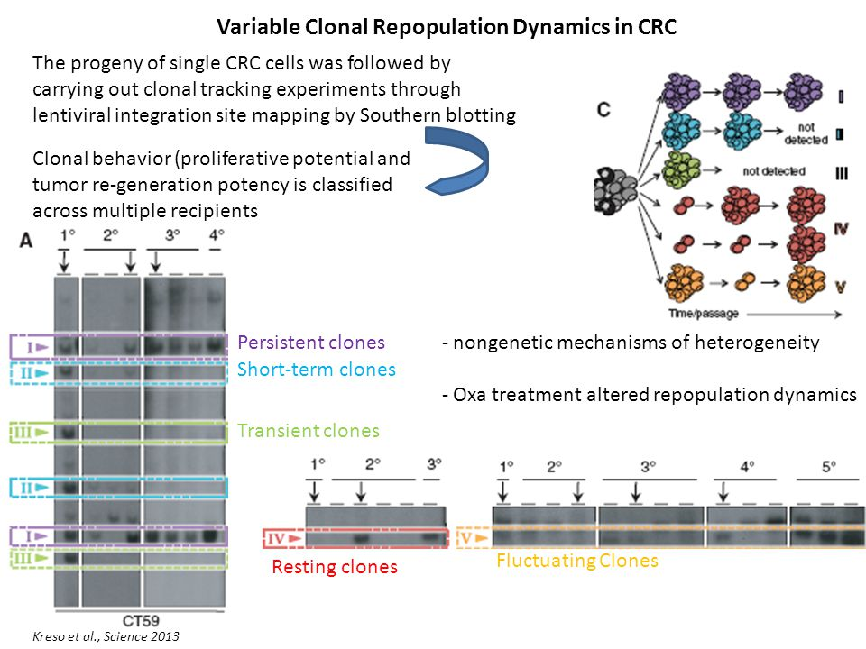 Variable Clonal Repopulation Dynamics in CRC Kreso et al., Science 2013 The progeny of single CRC cells was followed by carrying out clonal tracking experiments through lentiviral integration site mapping by Southern blotting Persistent clones Short-term clones Transient clones Resting clones Fluctuating Clones - nongenetic mechanisms of heterogeneity - Oxa treatment altered repopulation dynamics Clonal behavior (proliferative potential and tumor re-generation potency is classified across multiple recipients