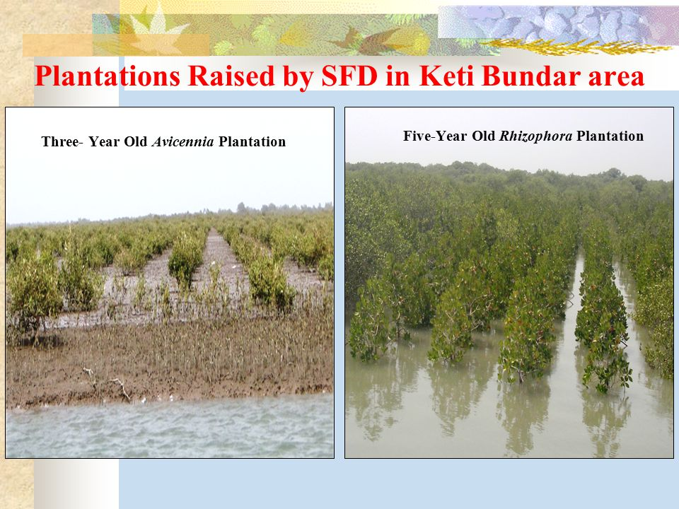Plantations Raised by SFD in Keti Bundar area Three- Year Old Avicennia Plantation Five-Year Old Rhizophora Plantation