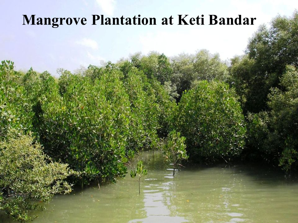 Mangrove Plantation at Keti Bandar