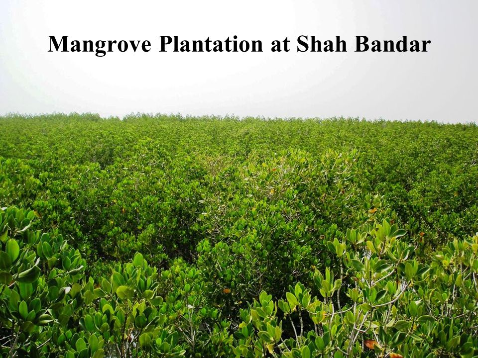 Mangrove Plantation at Shah Bandar