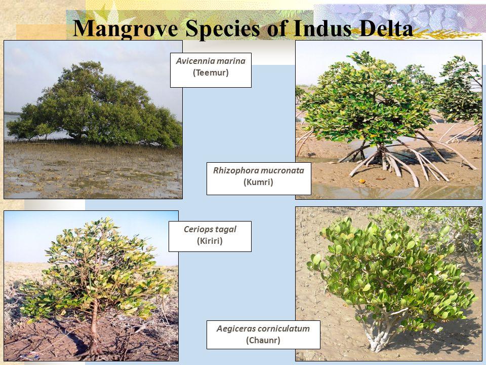 Mangrove Species of Indus Delta Rhizophora mucronata (Kumri) Ceriops tagal (Kiriri) Aegiceras corniculatum (Chaunr) Avicennia marina (Teemur)