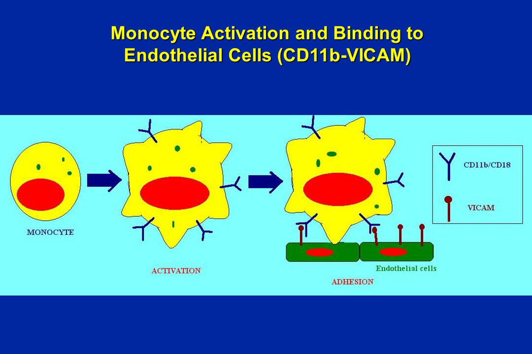 Monocyte Activation and Binding to Endothelial Cells (CD11b-VICAM)