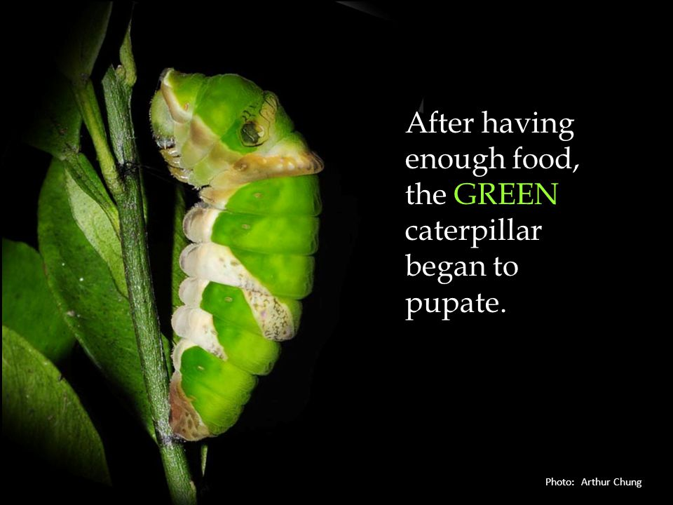 After having enough food, the GREEN caterpillar began to pupate.