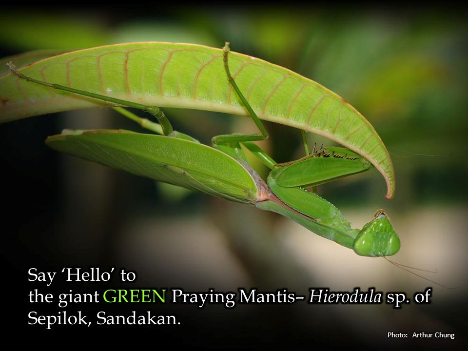 A spectacular montane GREEN–banded Cicada, Tacua speciosa of Crocker Range, Sabah.