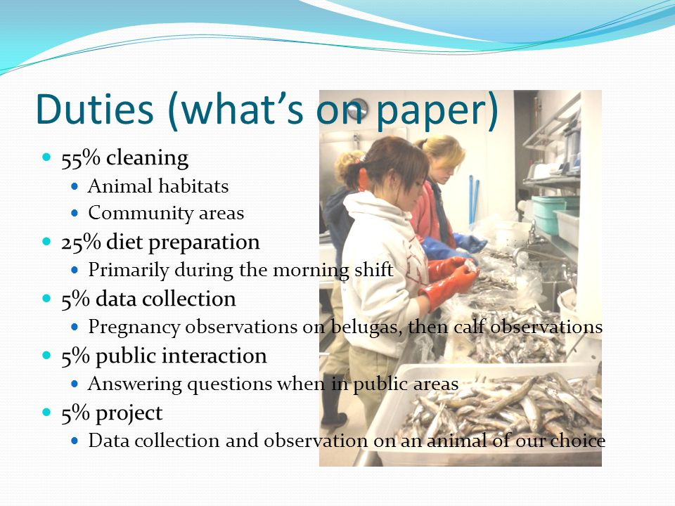 Duties (what's on paper) 55% cleaning Animal habitats Community areas 25% diet preparation Primarily during the morning shift 5% data collection Pregnancy observations on belugas, then calf observations 5% public interaction Answering questions when in public areas 5% project Data collection and observation on an animal of our choice