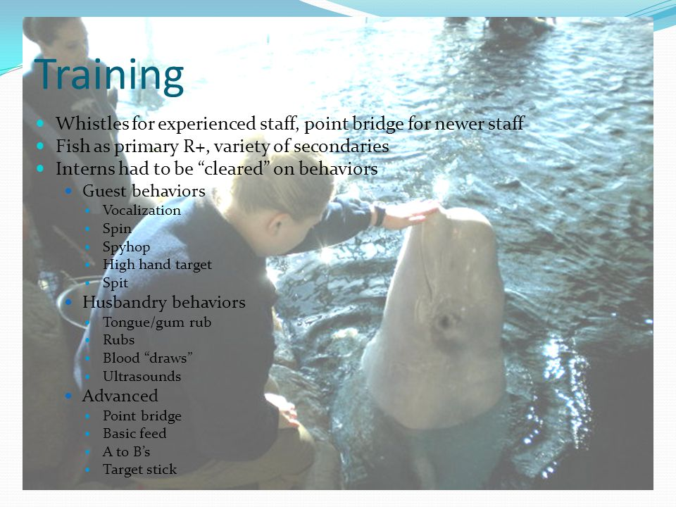 Training Whistles for experienced staff, point bridge for newer staff Fish as primary R+, variety of secondaries Interns had to be cleared on behaviors Guest behaviors Vocalization Spin Spyhop High hand target Spit Husbandry behaviors Tongue/gum rub Rubs Blood draws Ultrasounds Advanced Point bridge Basic feed A to B's Target stick