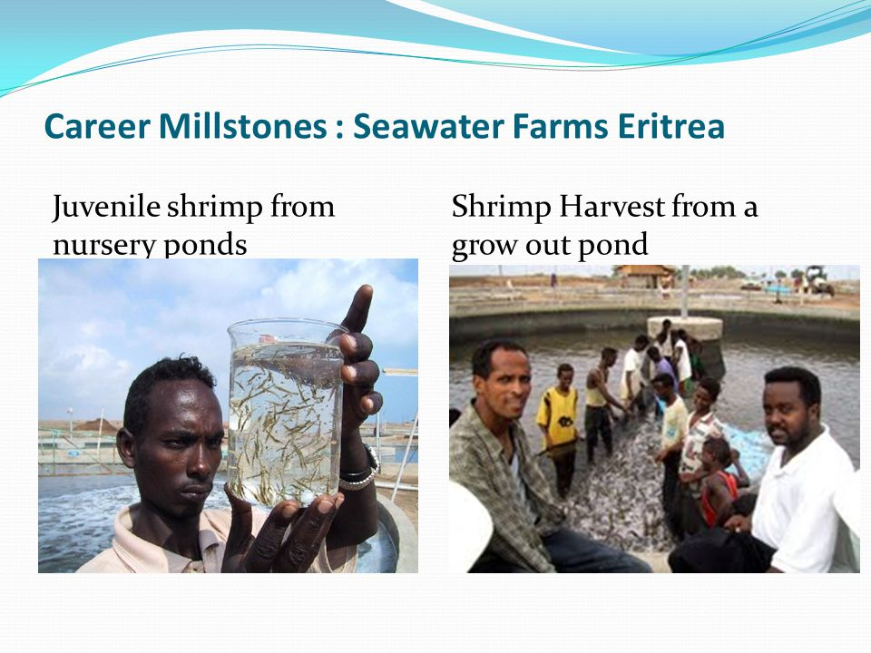 Career Millstones : Seawater Farms Eritrea Juvenile shrimp from nursery ponds Shrimp Harvest from a grow out pond