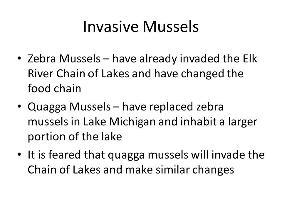 Invasive Mussels Zebra Mussels – have already invaded the Elk River Chain of Lakes and have changed the food chain Quagga Mussels – have replaced zebra mussels in Lake Michigan and inhabit a larger portion of the lake It is feared that quagga mussels will invade the Chain of Lakes and make similar changes