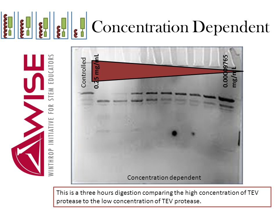Concentration Dependent Controlled 0.25 mg/mL Concentration dependent This is a three hours digestion comparing the high concentration of TEV protease to the low concentration of TEV protease.