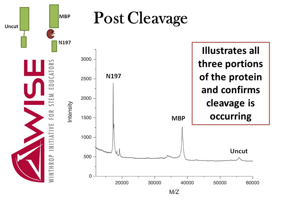 Post Cleavage Uncut MBP N197 Illustrates all three portions of the protein and confirms cleavage is occurring N197 MBP Uncut