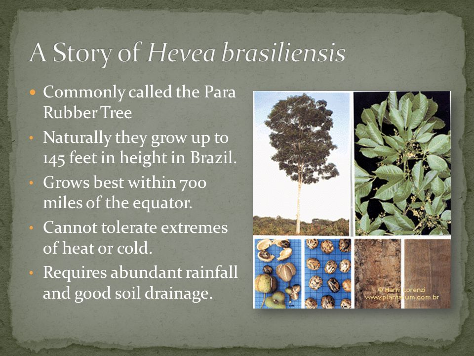 Commonly called the Para Rubber Tree Naturally they grow up to 145 feet in height in Brazil.