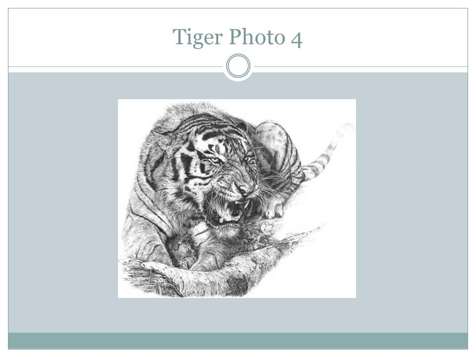 Tiger Photo 4