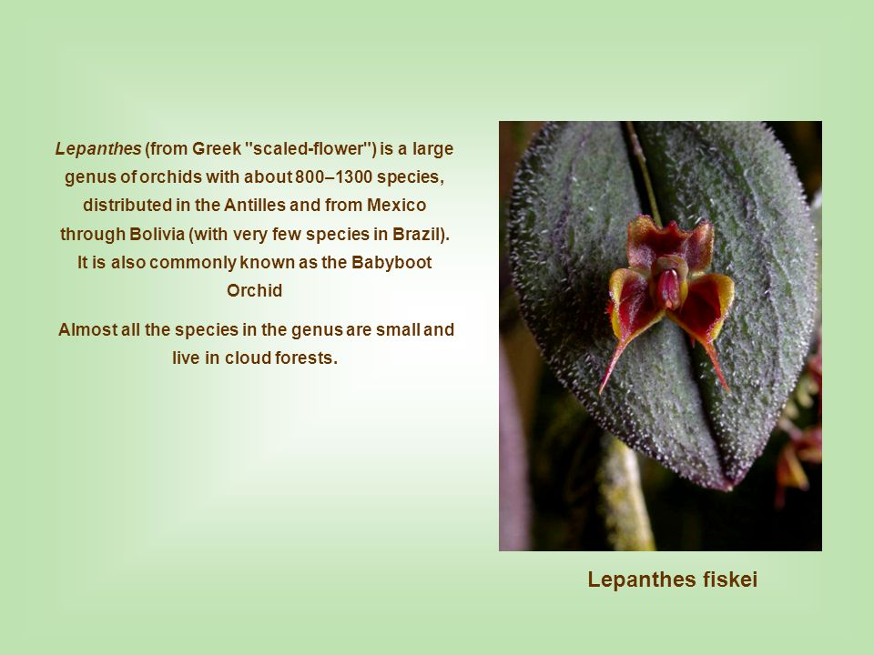 Lepanthes Glass