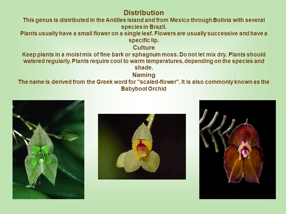 Lepanthes felis Country of Origin: Colombia