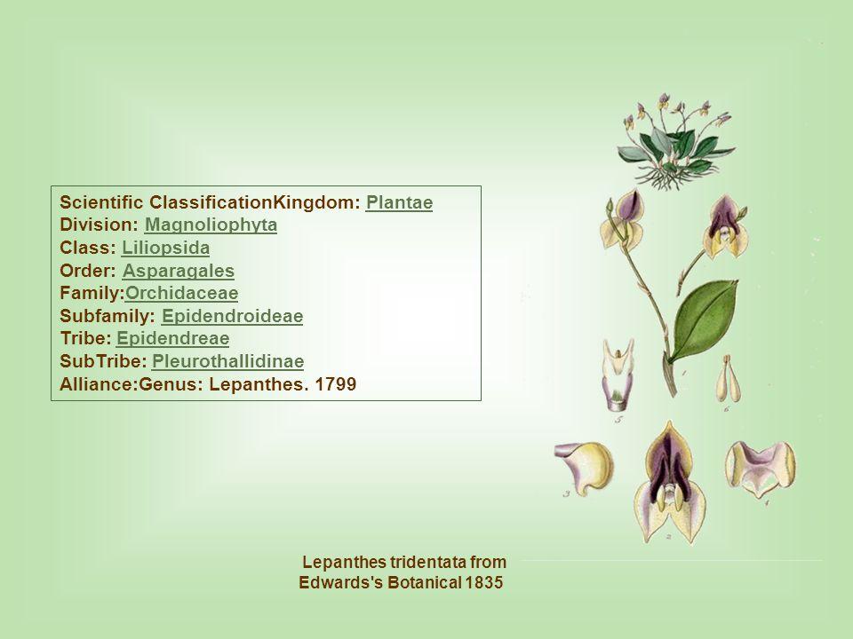 Lepanthes guatemalensis es una especie de orquidea que se encuentra en México - Guatemala.