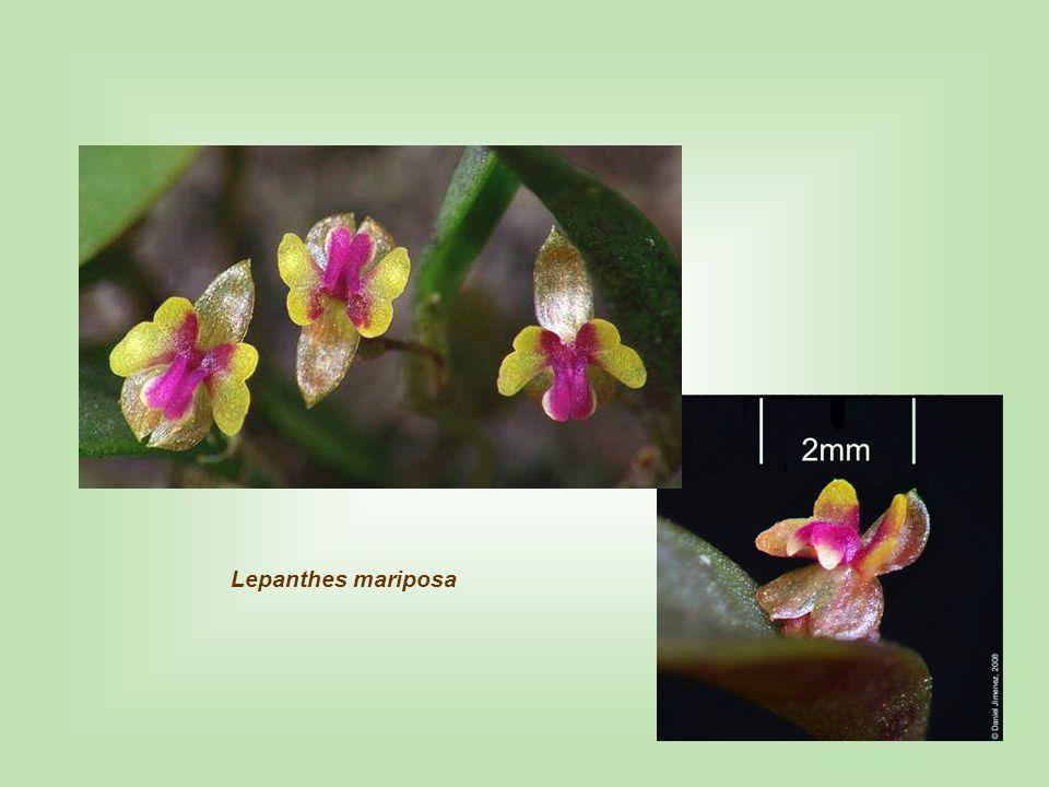 Lepanthes aff. pilosella