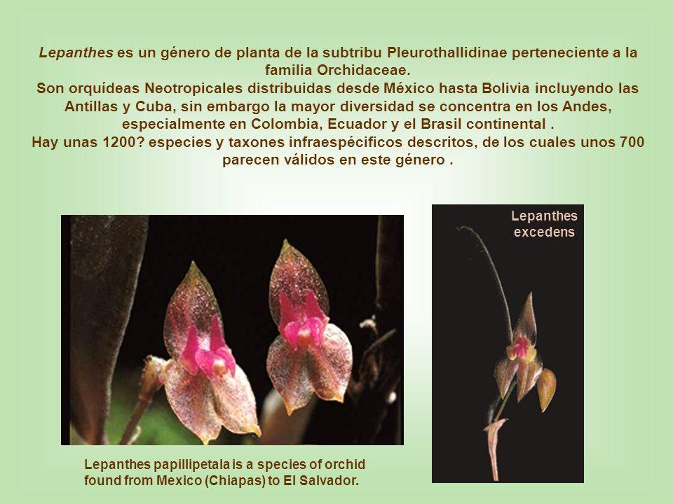 Lepanthes acuminata Lepanthopsis acuminata Lepanthopsis vinacea