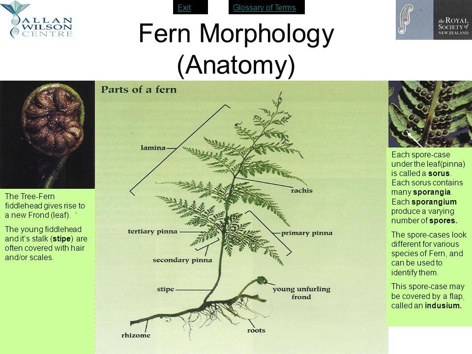 ExitGlossary of Terms Fern Morphology (Anatomy) Each spore-case under the leaf(pinna) is called a sorus. Each sorus contains many sporangia. Each spor