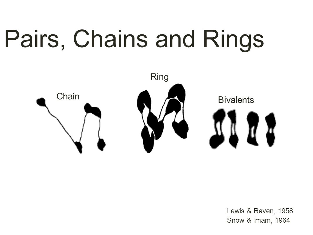 Lewis & Raven, 1958 Chain Pairs, Chains and Rings Bivalents Ring Snow & Imam, 1964