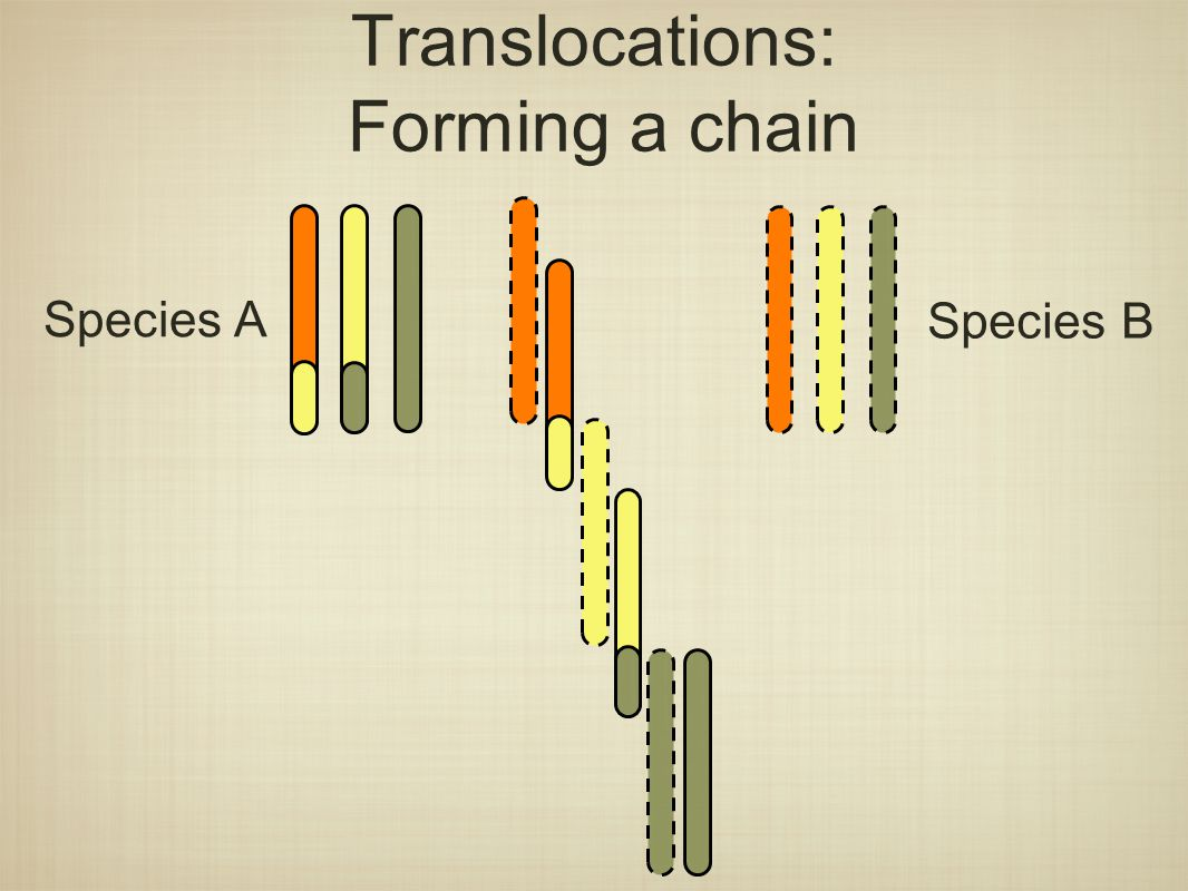 Translocations: Forming a chain Species A Species B