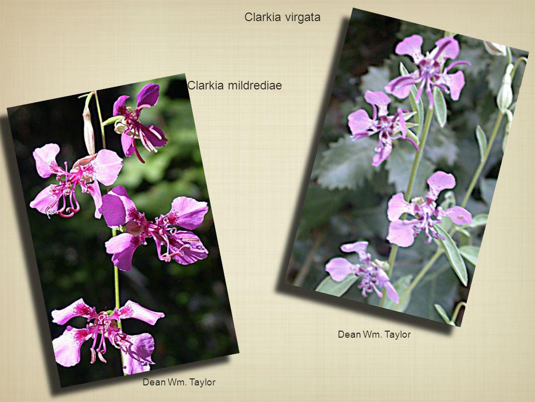 Clarkia virgata Clarkia mildrediae Dean Wm. Taylor